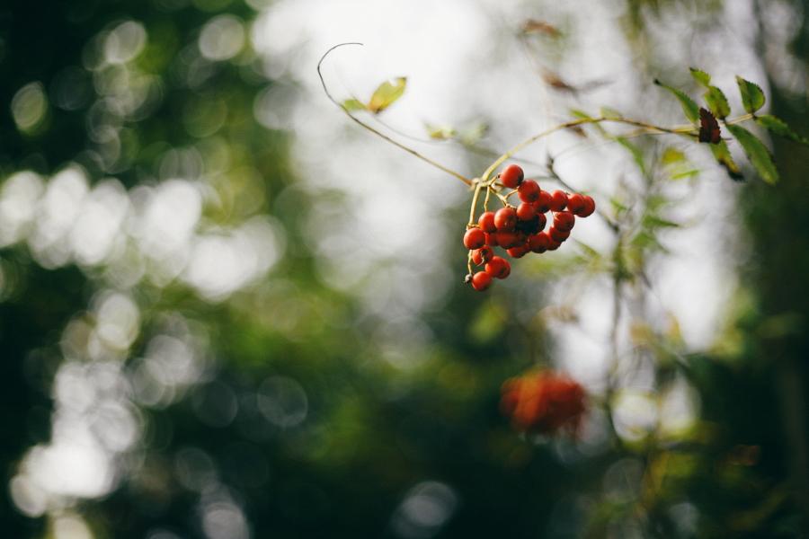 höst-rönnbär-gällstad-ulricehamn-foto-fotoblogg-färg-2016